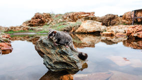 Sugar glider on a rock Stock Photos