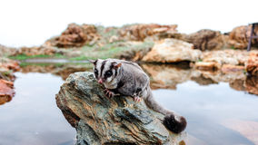 Sugar glider on a rock Royalty Free Stock Images