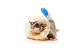 Sugar glider sick wearing a collar Royalty Free Stock Images