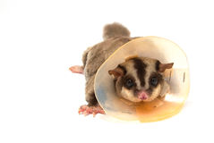 Sugar glider sick wearing a(protective) collar Stock Photo