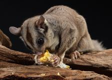 Sugar glider sitting on branch eating corn stock photography