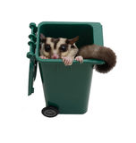 Sugar glider in small garbage bin. Royalty Free Stock Images