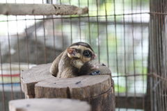 Sugar Glider. Trapped in a cage stock photography