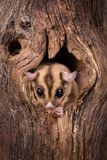 Sugar Glider in tree. Closeup of a Sugar Glider squirrel peeking out of a tree hole stock photo