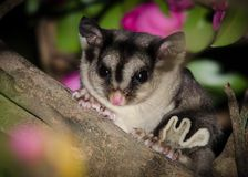 Sugar glider up close. The sugar glider (Petaurus breviceps) is a small, omnivorous, arboreal, and nocturnal gliding possum belonging to the marsupial . The Royalty Free Stock Photos