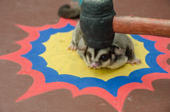 Sugar glider was hit on the head Royalty Free Stock Photo