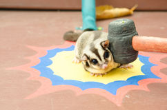 Sugar glider was hit on the head. Royalty Free Stock Photos