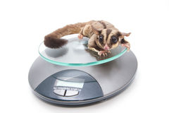 Sugar glider on weigh scales , vet examination Stock Images