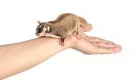 Sugar glider on white Royalty Free Stock Photos