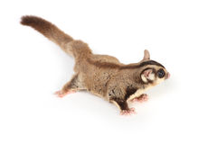 Sugar glider on white Royalty Free Stock Photo