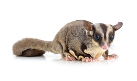 Sugar Glider on white background. Sugar Glider on  a white background Stock Images
