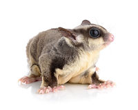 Sugar Glider on white background Royalty Free Stock Photos