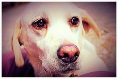 Sugar Labrador Immagine Stock Libera da Diritti