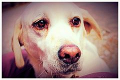 Sugar Labrador Royaltyfri Bild