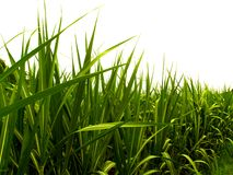 Sugar leaves 1. Green sugar cane leaves Stock Images