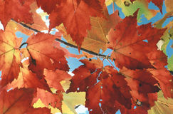 Sugar Maple Stock Photography