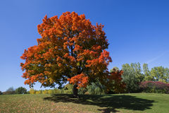 Sugar Maple Arkivbilder