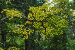 Sugar Maple, Acer Saccharum, Siamese Ponds Wilderness Area, Adirondack Forest Preserve, New York, USA royalty free stock images