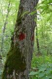 Sugar Maple (Acer-Zucker) markierte als Bauholz-Verkaufs-Grenzbaum Stockfotografie