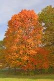 Sugar Maple in den Fall-Farben Lizenzfreies Stockbild