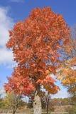 Sugar Maple en la caída Fotografía de archivo libre de regalías