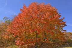 Sugar Maple in Full Color. Along the Blue Ridge Parkway in Virginia Stock Photography
