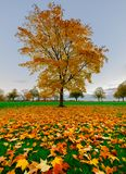 Sugar Maple on Harrogate Stray. Showing vivid orange, red and yellow colours royalty free stock photo