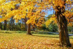 Sugar Maple hermoso con las hojas amarillas imágenes de archivo libres de regalías