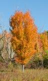 Sugar Maple i nedgångfärg Royaltyfri Fotografi