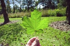 Sugar Maple Leaf Lizenzfreie Stockfotos