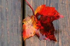 Sugar Maple Leaf en la cubierta de madera Fotos de archivo