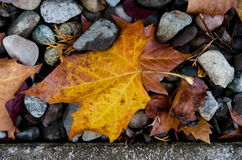 Sugar maple leaf on rocks next to a curb Royalty Free Stock Photography