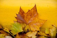 Sugar maple leaf on rocks next to a yellow bordure of sidewalk Stock Image