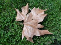 Sugar maple leaf. Sugar maple or hard maple is a native tree valued for its beautiful and varied fall color. It is one of the few tree species that establishes royalty free stock photos