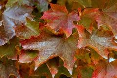 Sugar Maple Leaves Foto de Stock