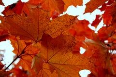 Sugar Maple Leaves Fotografia de Stock
