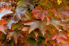 Sugar Maple Leaves Fotografia de Stock Royalty Free