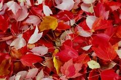 Sugar Maple Leaves Imagem de Stock