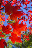 Sugar Maple Leaves in Autumn Royalty Free Stock Photos