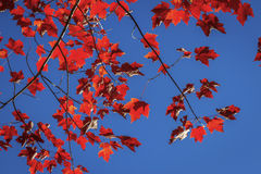 Sugar Maple Leaves in Autumn Stock Images