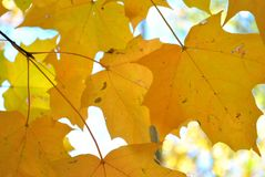 Sugar Maple Leaves stock photo