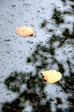 Sugar maple leaves on a rear window of a car Royalty Free Stock Photography