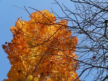 Sugar maple or rock maple tree in autumn colors Royalty Free Stock Image