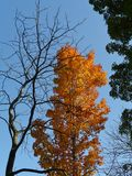 Sugar maple or rock maple tree in autumn colors Royalty Free Stock Photography