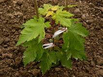 Sugar maple sapling Stock Photos