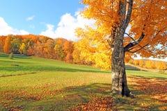 Sugar Maple träd i den sceniska nedgången, Plymouth, VT Royaltyfria Bilder