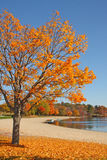 Sugar Maple tree in fall at lake edge. Sugar Maple tree at lake edge with boats upstate rural New York in Fall, acer saccharum stock photo
