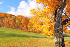 Sugar Maple tree in Fall scenic, Plymouth, VT Stock Photo