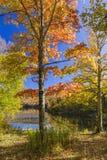 Sugar Maple Tree Foliage på det Catskills dammet arkivbild