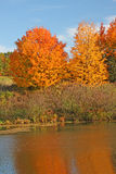 Sugar Maple trees in fall at pond. Sugar Maple trees at pond edge upstate rural New York in Fall, acer saccharum Stock Photos